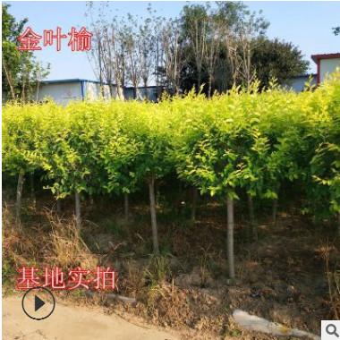 基地直销 金叶榆 黄金榆 黄金榆 枝叶绿化工程榆树行道树耐寒植物