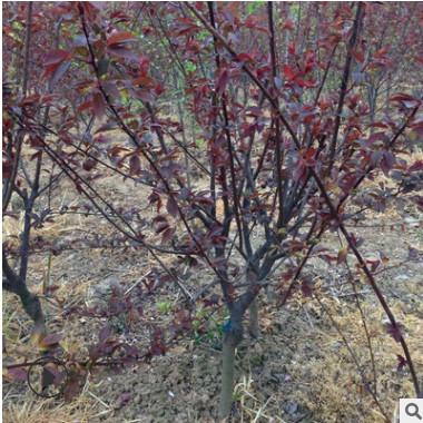 基地直销 榆叶梅树木庭院园林绿化行道树观赏红梅花 批发量大优惠