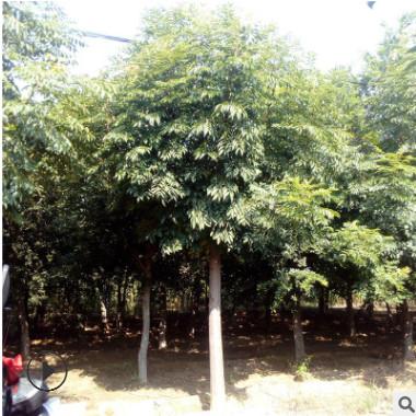 基地直销黄山栾树大树园林庭院绿化工程行道树规格齐全好成活优惠