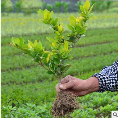 基地直销 金森女贞彩色绿化花批发绿化工程公园庭院植物 批发好活