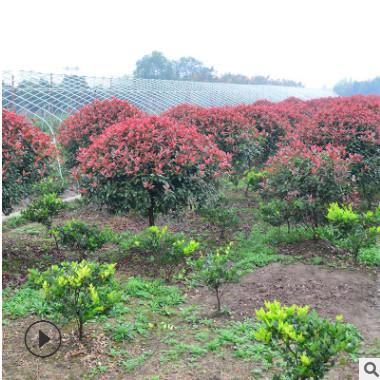 基地直销红叶石楠球庭院行道树绿化树木红叶石楠四季常青绿化植物