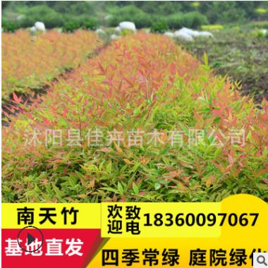 基地批发南天竹 彩色红叶色块绿化树木 南天竺常绿灌木篱观叶植物