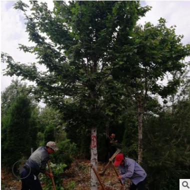 基地批发 三角枫树木 庭荫树行道树及护岸树种园林绿化公园景观树