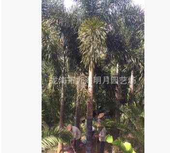 【园林绿化】狐尾椰子种植 地径25~40cm 杆高1~6米 基地直销