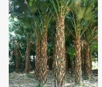 【园林绿化】蒲葵杆高0.5~5米 蒲葵价格 蒲葵报价 蒲葵批发价