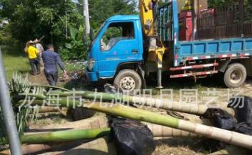 福建大王椰子 头径30~45cm 杆高1~6米 耐寒棕榈植物 基地直销