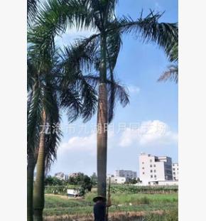 大王椰子 头径30~45cm 杆高1~6米 耐寒棕榈植物 基地直销