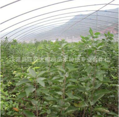 樱桃苗汉源拉宾斯嫁接樱桃树苗当年结果盆栽北方南方2米以上