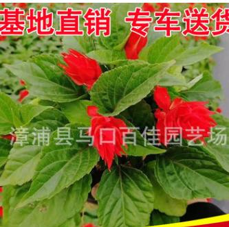 一串红 高度20-25价格1.2 出售时令草花一串红 福建基地直销