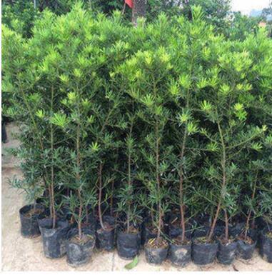 四季常青罗汉松树苗珍珠雀舌中叶罗汉松小苗米叶罗汉松盆栽盆景苗