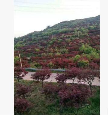 原生红枫盆栽园林景植物 量大从优