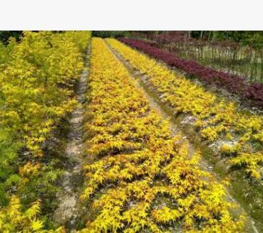 厂家供应黄金枫树苗 园林绿化苗木 庭院种植 观叶枫树