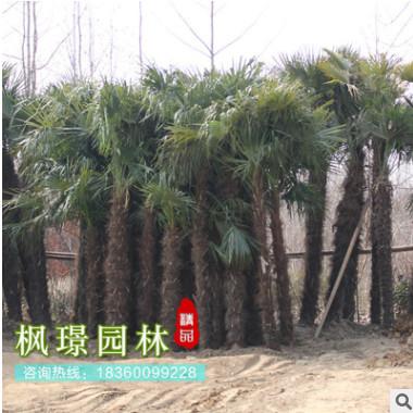棕榈树苗小苗唐棕榈山棕种子棕耙树绿化苗木扇子树招财树棕竹批发