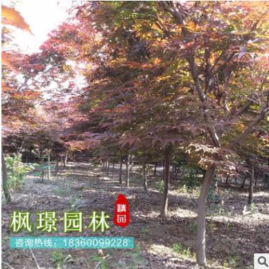 日本红枫 批发 园林绿化木 红枫嫁接树 红枫 风景树景观树