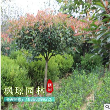 红叶石楠球 基地供应多规格市政工程绿化 庭院绿化植物篱笆