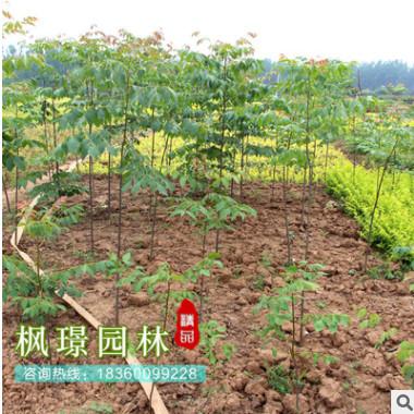 供应各种苗木 基地直销 优质 栾树苗 绿化工程 高杆行道树