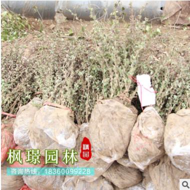 基地直销 红叶小檗 红叶小檗树批发 工程绿化树红叶小檗球