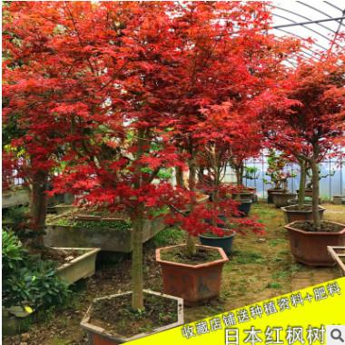 批发日本红枫树苗庭院绿化植物客厅阳台四季中国红枫盆栽嫁接红枫