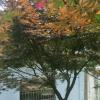专供红枫,垂丝海棠,早樱,晚樱,羽毛枫,鸡爪槭