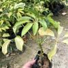 澳洲鹅掌木