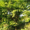 浙江绍兴鸡爪槭价格优惠产地直销