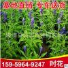 时花工程苗 红花黄花紫花 多种颜色供应 产地直
