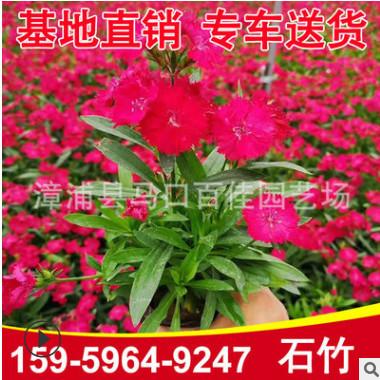 石竹杯苗 各种颜色石竹供应 绿化花卉 基地直供