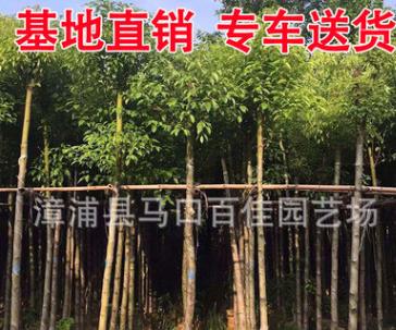 重阳木 秋枫移栽苗 园林行道风景树大量批发