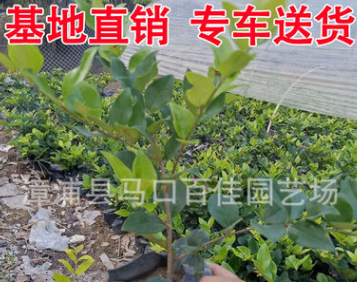 金森女贞小苗袋苗 供应绿化工程庭院植物 多规格供应