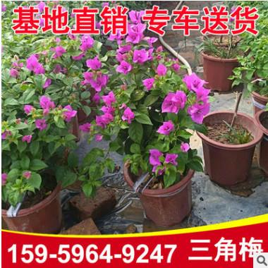 红花三角梅盆栽 九重葛 光叶子花大量批发 基地直销