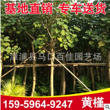 黄槿 黄槿移栽苗 风景树 园林绿化工程苗木
