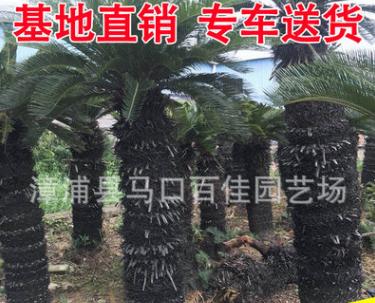 苏铁基地大量批发 大铁树庭院景观工程供应
