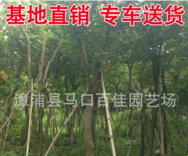漳州黄花槐树苗 黄槐规格齐全 产地直销批发