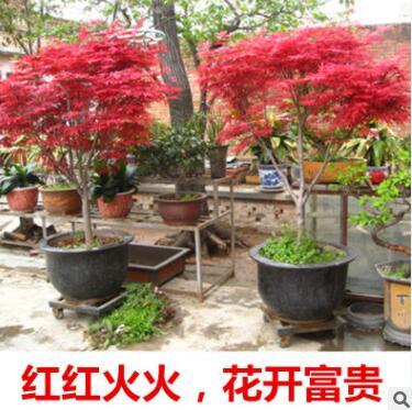 红枫树苗四季红美国红枫树苗红舞姬庭院景观绿化林荫道庭院苗木