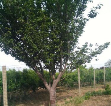 大量销售日本晚樱苗定干80高干日本晚樱树成活率保证