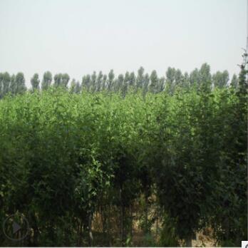 基地批发4公分白花重瓣木槿批发基地 木槿花树数量巨大