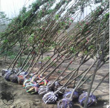 农户供应北美海棠基地 海棠树成活率高