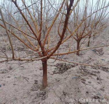 桑树苗批发果树苗 大桑树养蚕树 7公分左右桑葚树苗 果实天然香甜