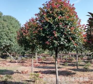 湖南精品红叶石楠树(蘑菇形状)柏加红叶石楠树直销