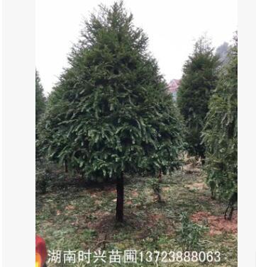 大量提供 精品红豆杉 独栋家居首选植物 可美化环境