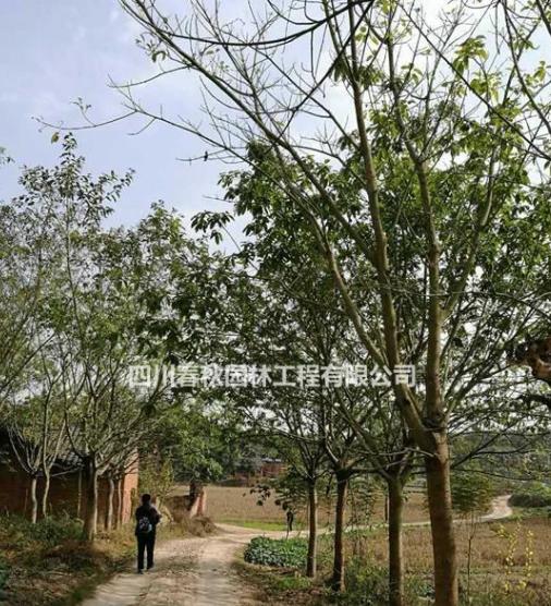 四川黄葛树种植基地,黄葛树规格齐全价格优惠