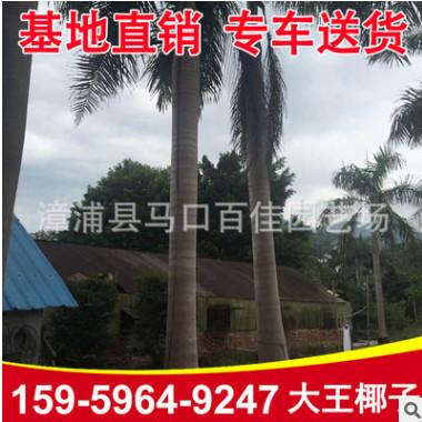 大王椰子 福建种植基地直销 大王椰子树报价