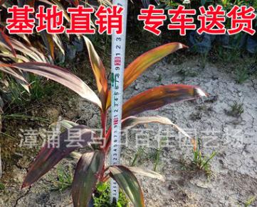 红叶朱蕉批发 地被苗杯苗大袋苗 高25-40 大量供应