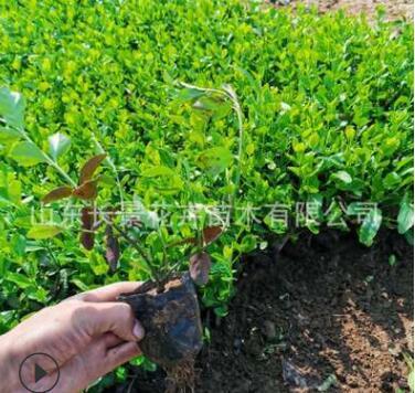 小叶扶芳藤 爬行卫矛 盆栽四季常青 爬藤植物规格齐全 苗木基地