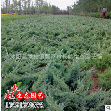 优质铺地柏苗 地柏小苗 常绿小灌木 地被绿化苗木批发 基地直销