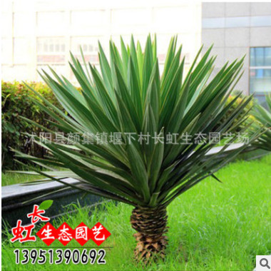 剑麻 凤尾兰 剑麻苗价格 凤尾兰种植基地 丝兰 量大优惠规格齐全