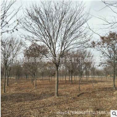 工程绿化苗木 榉树 红榉树基地 货源充足 规格齐全 量大优惠