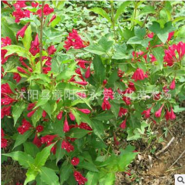 供应红王子锦带 苗木 工程绿化 护地绿化 各种规格齐全 量大优惠