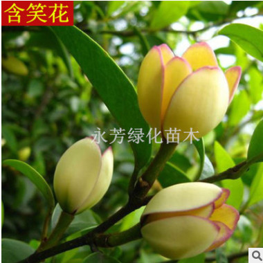 精品浓香观花植物 含笑花苗 可盆栽 庭院植物