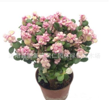 多肉植物 雅乐之舞金枝玉叶 盆栽老桩 室内绿植盆栽花卉